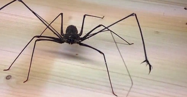 la araña que se está poniendo de moda como mascota 1