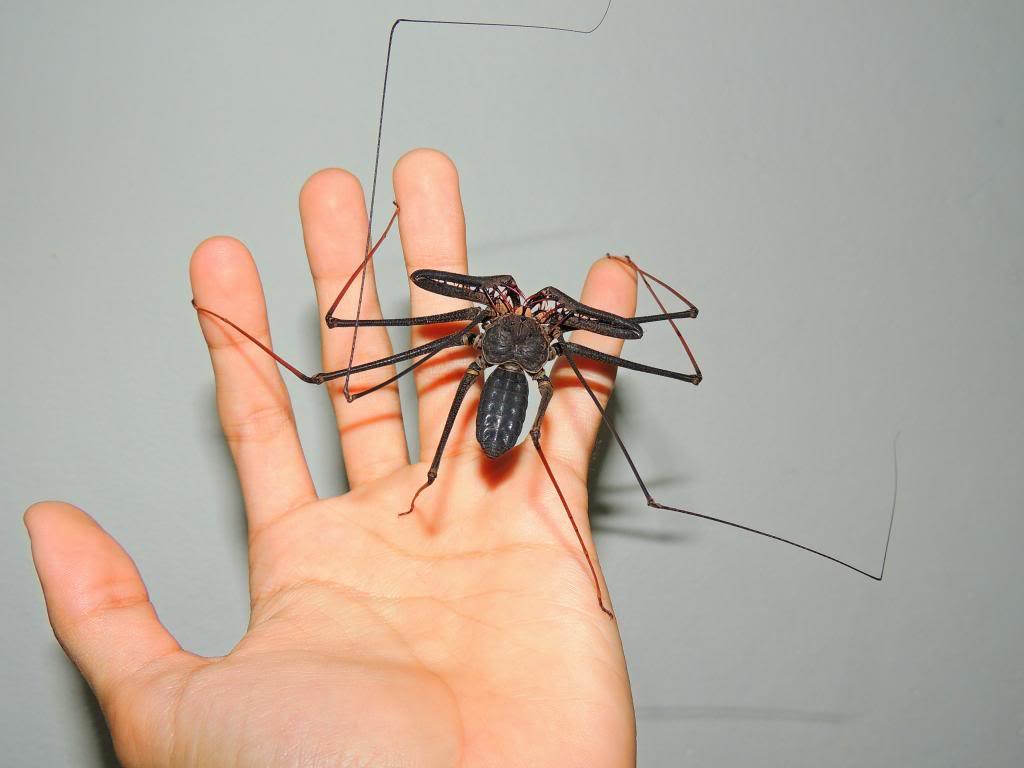 la araña que se está poniendo de moda como mascota 2