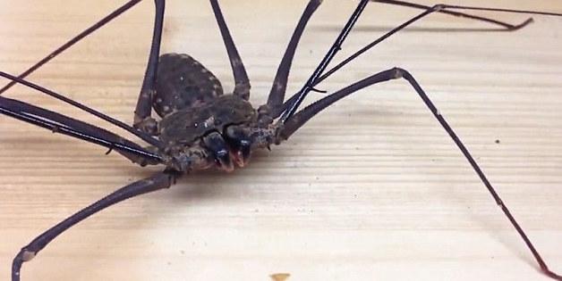 la araña que se está poniendo de moda como mascota 6