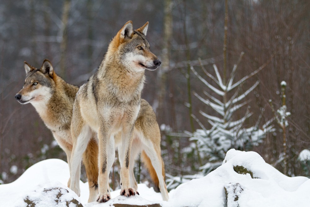 lobos manada 1 1 1