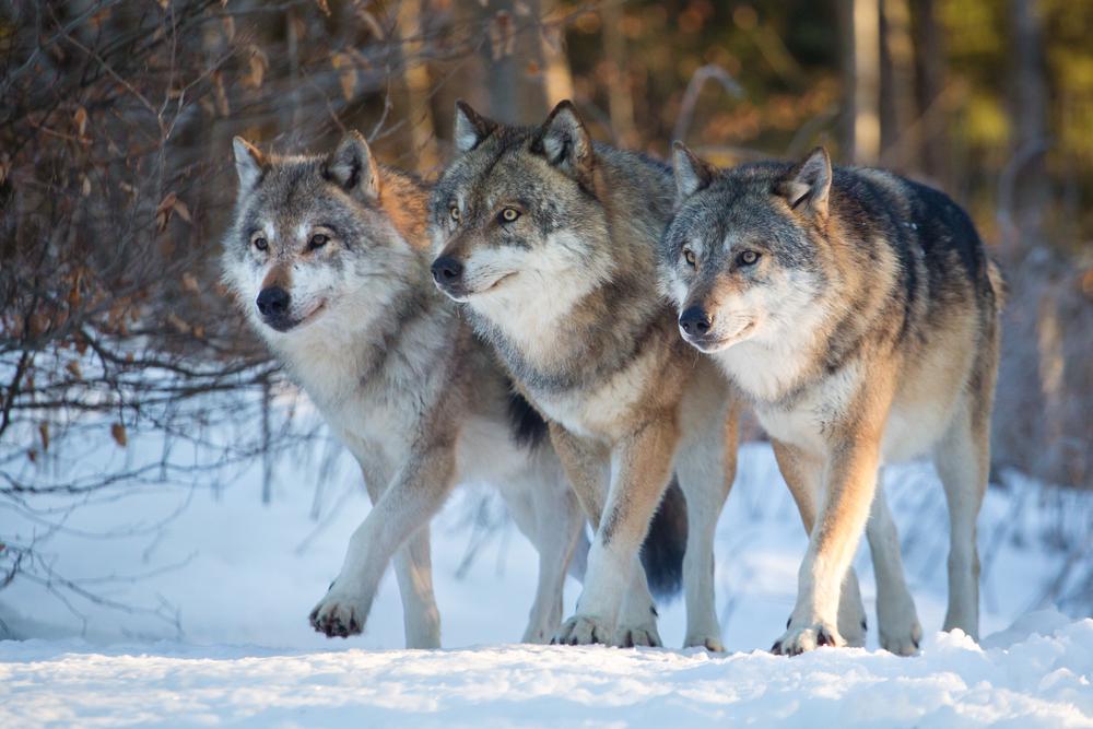 lobos manada 1 1 2