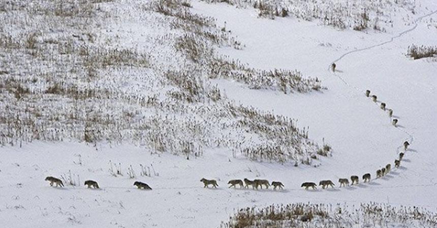 Una manada de 25 lobos se desplaza a temperaturas de -40º, a través de la nieve del invierno a través del Parque Nacional Wood Buffalo de Canadá.