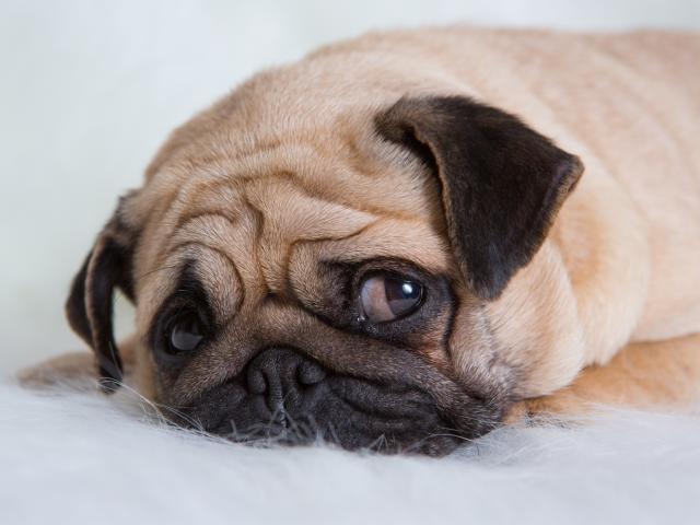 perro deprimido 13