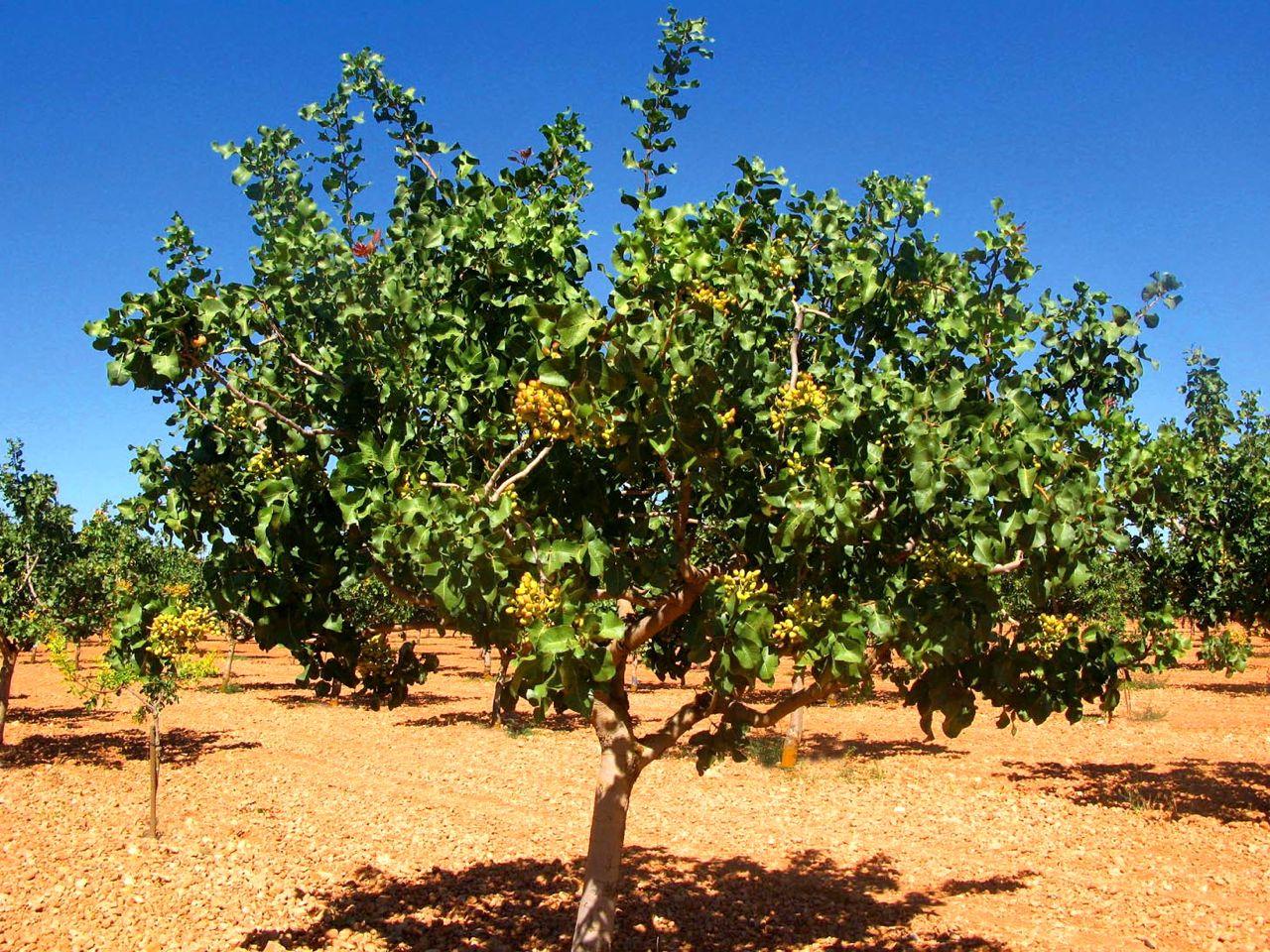 Pistacia vera o árbol del pistacho