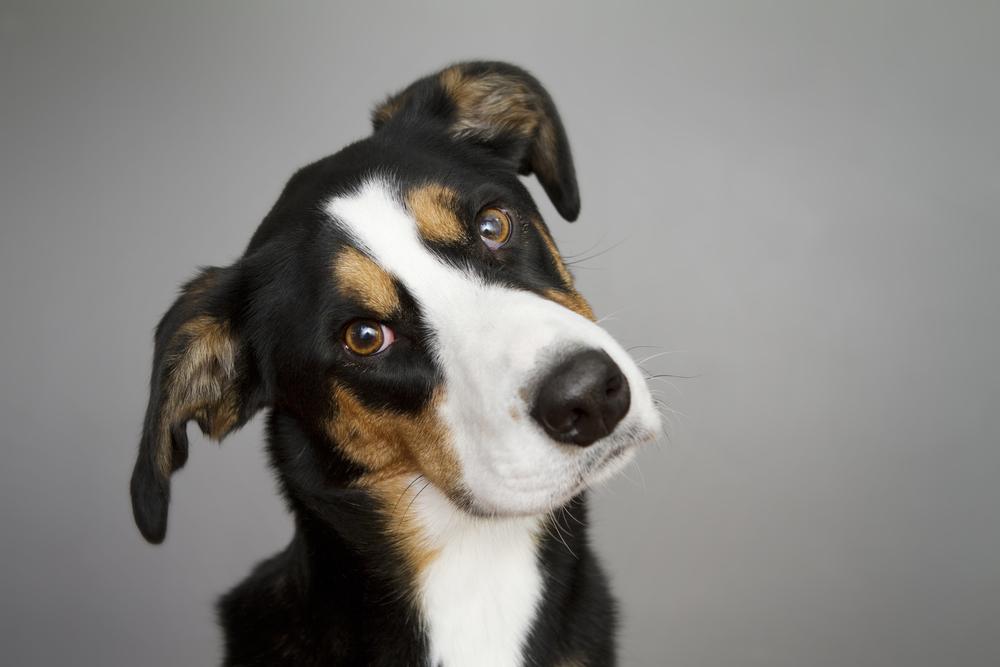 por que los perros ladean la cabeza