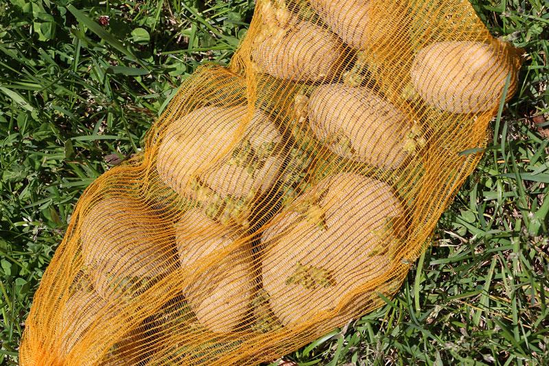 como cultivar tus propias patatas en un espacio reducido 1