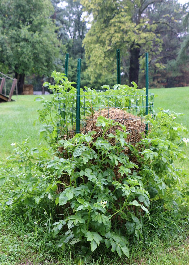 como cultivar tus propias patatas en un espacio reducido 10