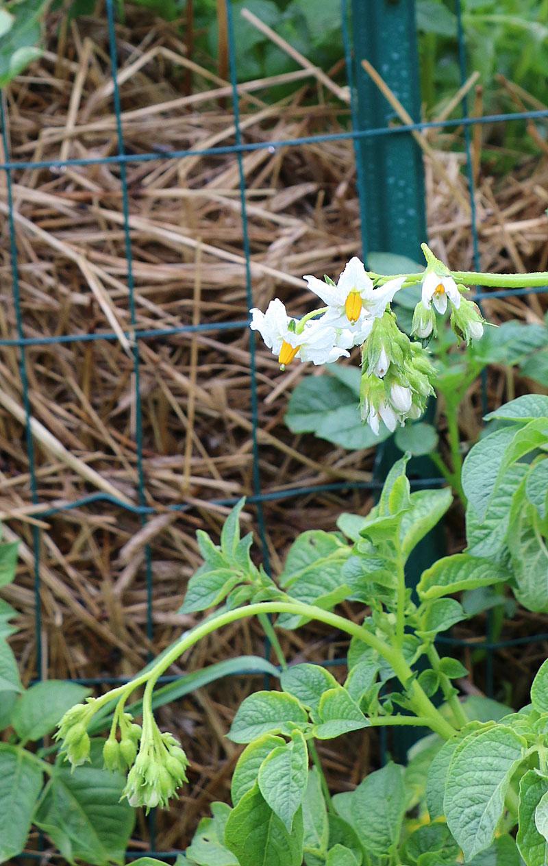 como cultivar tus propias patatas en un espacio reducido 11