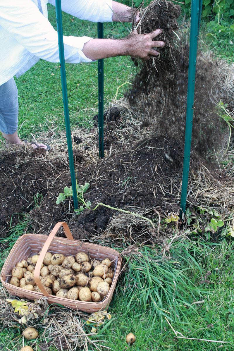 como cultivar tus propias patatas en un espacio reducido 13