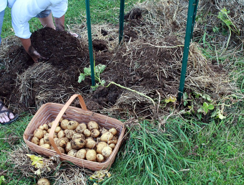 como cultivar tus propias patatas en un espacio reducido 14