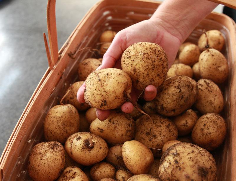 como cultivar tus propias patatas en un espacio reducido 15