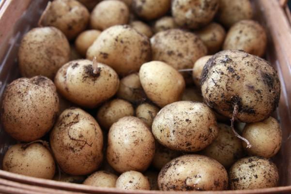 como cultivar tus propias patatas en un espacio reducido 16