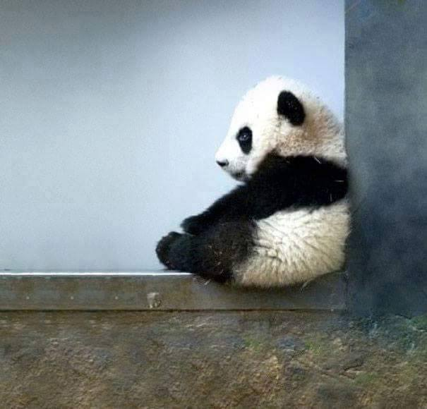aunque se le vea muy tranquilo a los bebs de oso panda les encantan los juegos