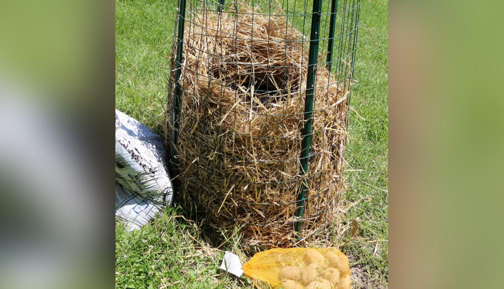 cultivar-patatas