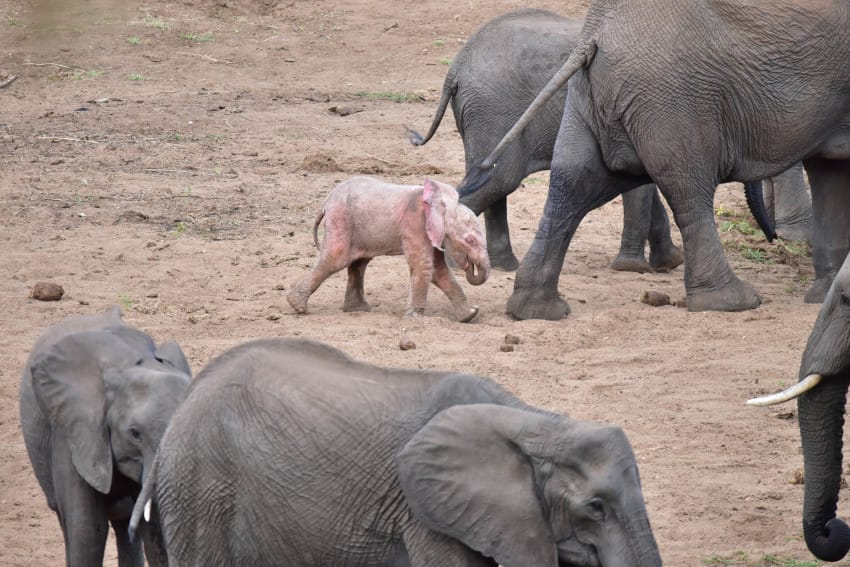 PIC BY NICKI COERTZE/ CATERS NEWS - (PICTURED: The adorable baby pink elephant with its herd.) - When you first glance at this photo youd be forgiven for thinking your eyes were playing tricks on you but no, this really is a PINK ELEPHANT! With his bright pink ears flapping in the wind, the tiny calf was spotted drinking from a river with its mother at Kruger National Park. The pink calf is believed to be an albino, an extremely rare phenomenon amongst African elephants. The rare sighting was made by tourist Nicki Coertze, 58, while on safari with his family in Shingwedzi.- SEE CATERS COPY