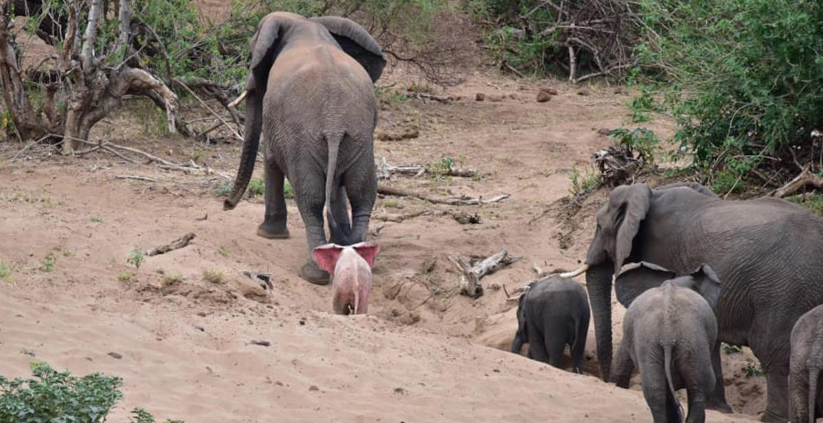 fotografian a un elefante rosa en una reserva africana