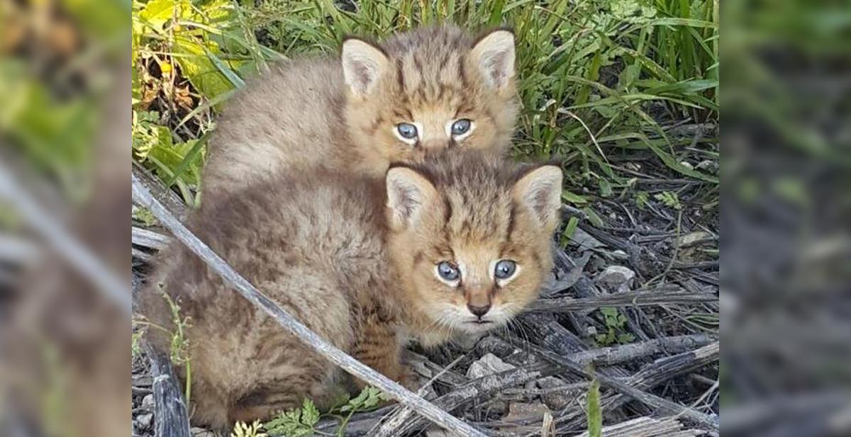gatos-chau-gatos-de-la-jungla
