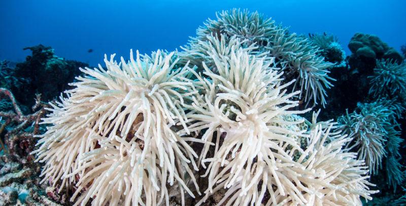 Así quedan los corales cuando el zooxanthellae muere o les abandona