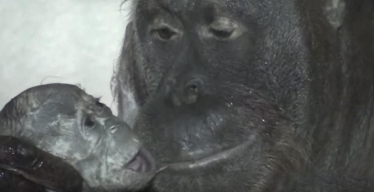 parto_orangutan_portada