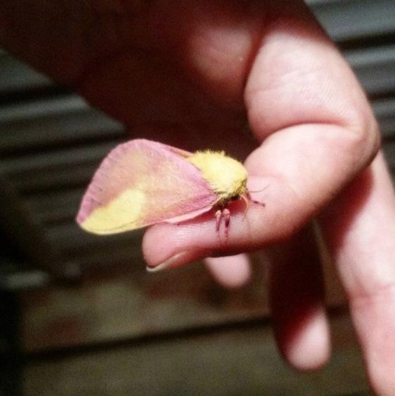 polilla arce de color rosa 1
