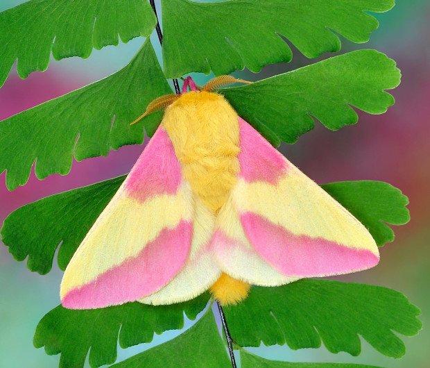 polilla arce de color rosa 7