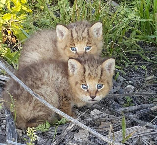 rescato a uos gatos y resultaron ser gatos salvajes de la jungla 1