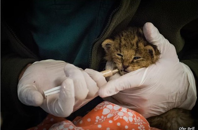 rescato a uos gatos y resultaron ser gatos salvajes de la jungla 10