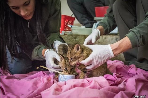 rescato a uos gatos y resultaron ser gatos salvajes de la jungla 12