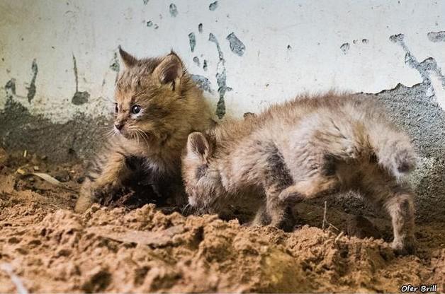 rescato a uos gatos y resultaron ser gatos salvajes de la jungla 13