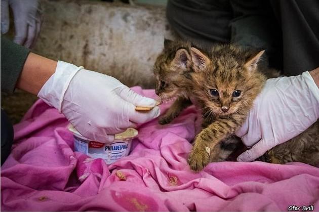 rescato a uos gatos y resultaron ser gatos salvajes de la jungla 14