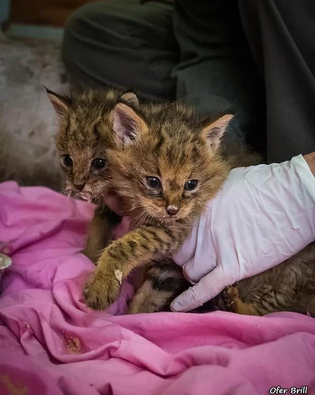 rescato a uos gatos y resultaron ser gatos salvajes de la jungla 17