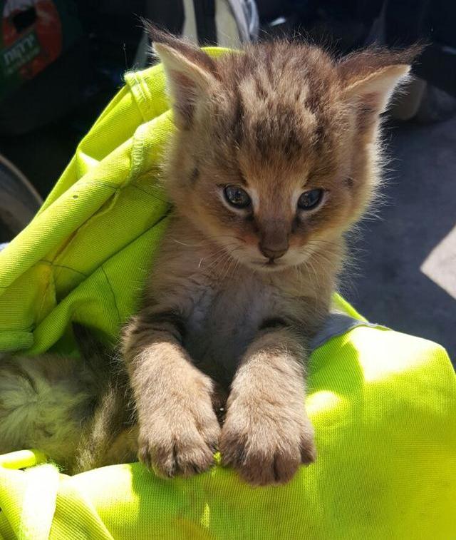 rescato a uos gatos y resultaron ser gatos salvajes de la jungla 5