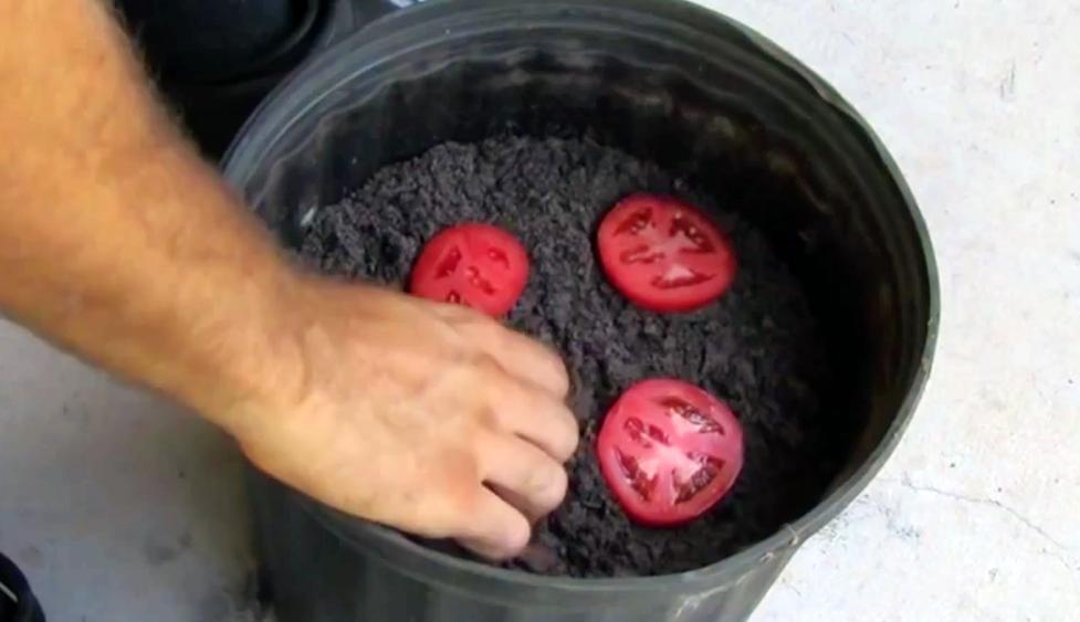 Cómo Cultivar Tomates En Tu Propia Casa De Manera Fácil Y