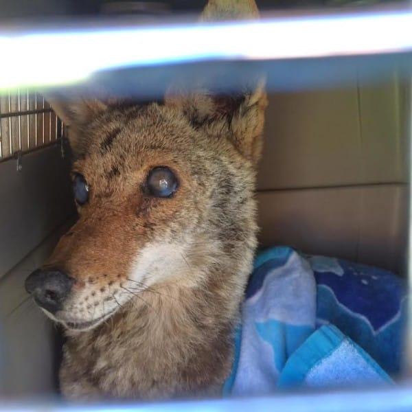este coyote sobrevivio a un disparo, ceguera, envenamiento y una caida por una razon sorprendente 2