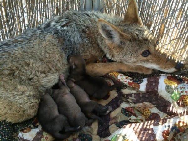 este coyote sobrevivio a un disparo, ceguera, envenamiento y una caida por una razon sorprendente 3