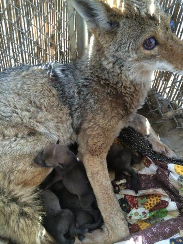este coyote sobrevivio a un disparo, ceguera, envenamiento y una caida por una razon sorprendente 6