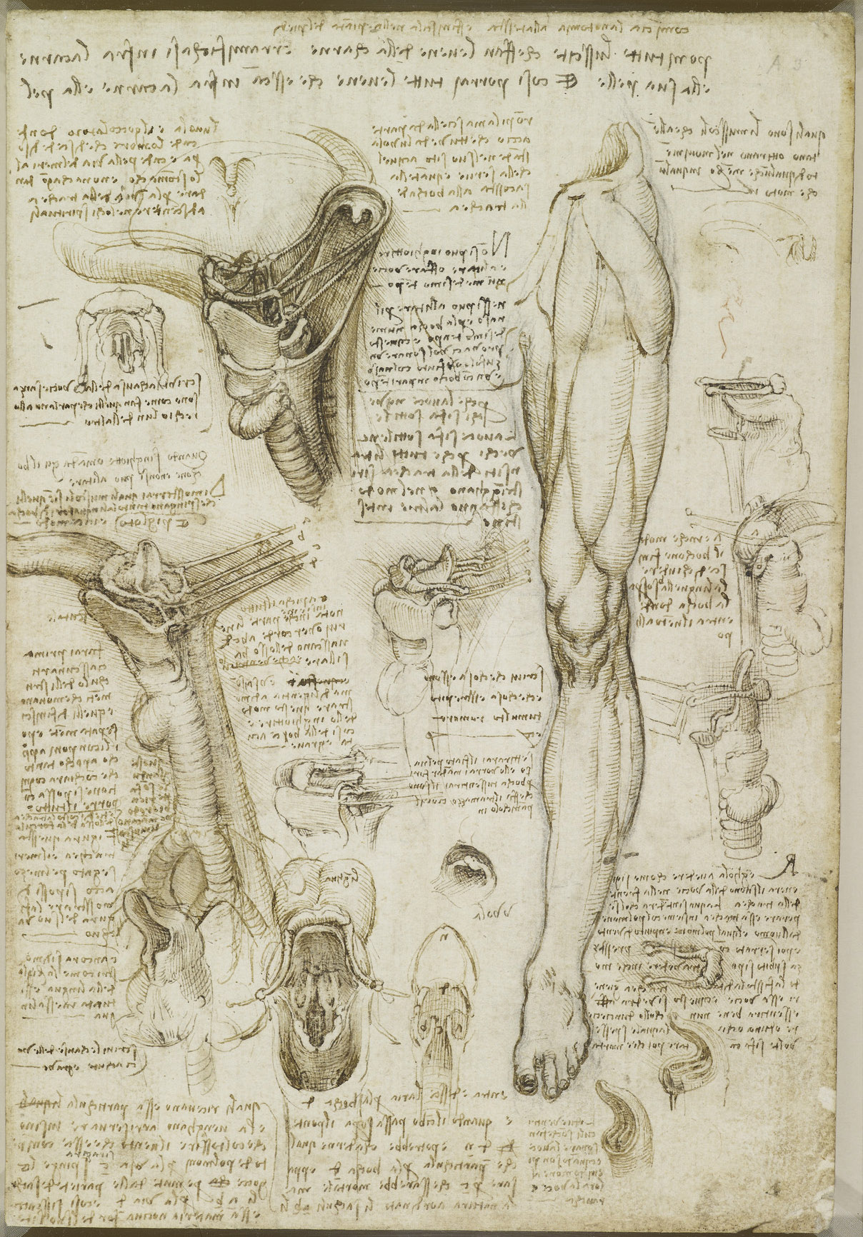 Recto: The throat, and muscles of the leg. Verso: The bones of t