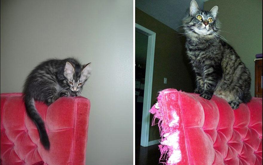 fotografias de gatos cuando eran pequeños y ahora de adultos 13