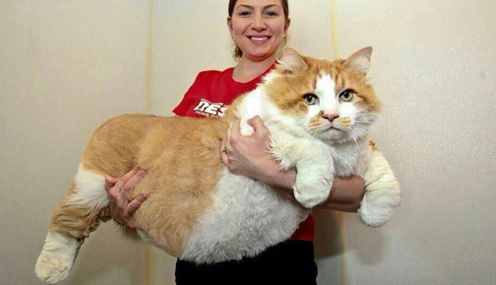 gatos-gigantes