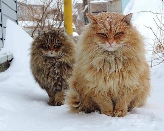 gatos_gigantes_13