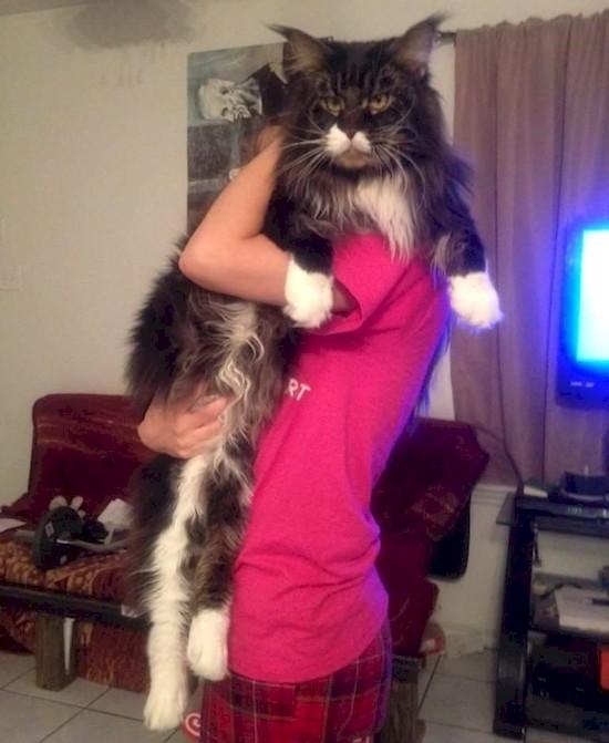 gatos_gigantes_5