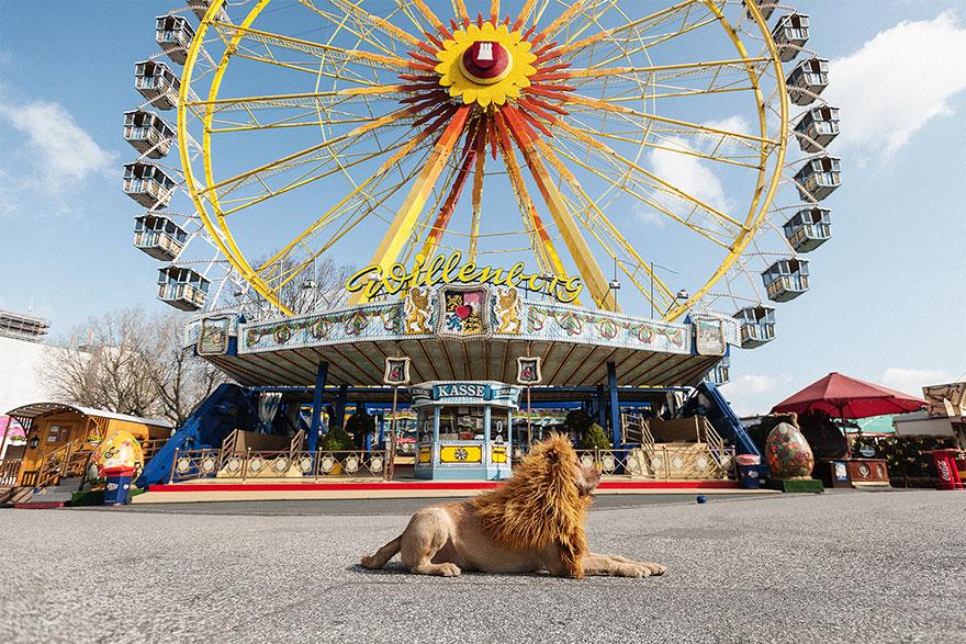 la fotografa julia marie werner retrata a su perro acomo si fuera un leon 11