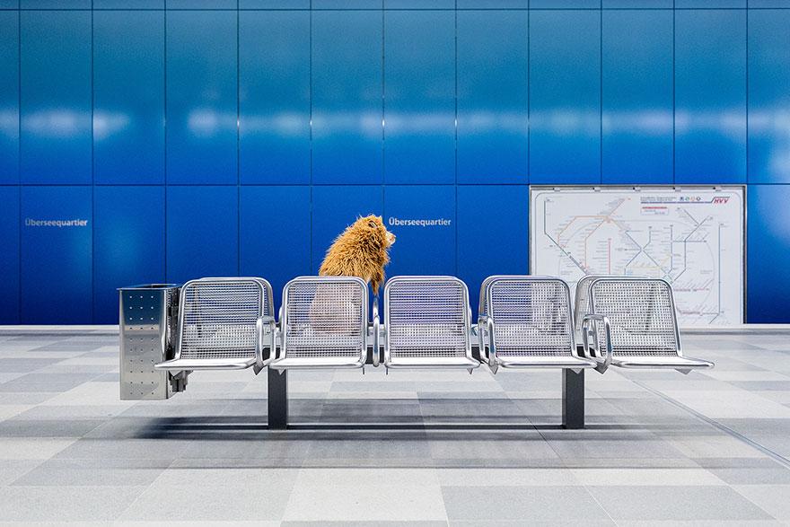 la fotografa julia marie werner retrata a su perro acomo si fuera un leon 12
