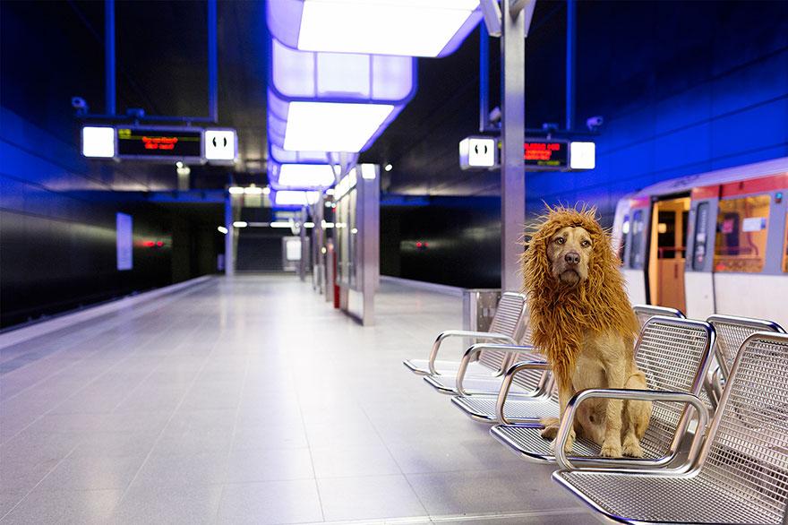 la fotografa julia marie werner retrata a su perro acomo si fuera un leon 14