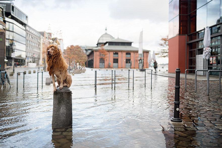 la fotografa julia marie werner retrata a su perro acomo si fuera un leon 2