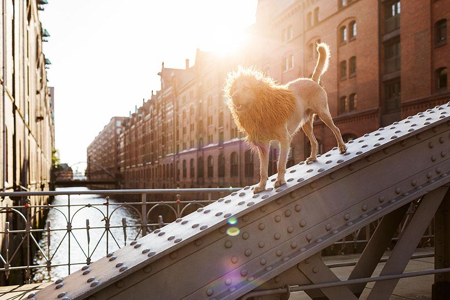 la fotografa julia marie werner retrata a su perro acomo si fuera un leon 3