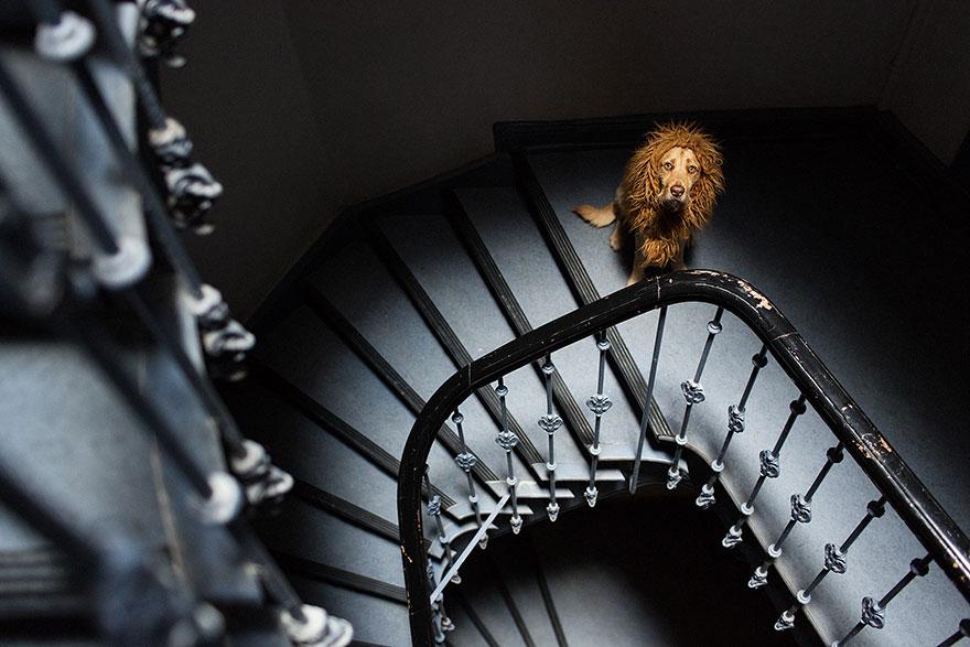 la fotografa julia marie werner retrata a su perro acomo si fuera un leon 4