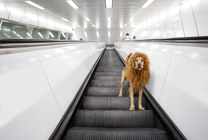la fotografa julia marie werner retrata a su perro acomo si fuera un leon 6