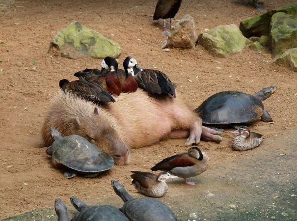 los capibaras son animales extremadamente sociables 1