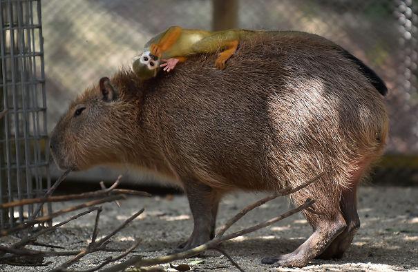 los capibaras son animales extremadamente sociables 10